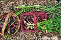 Shallots, onions, leeks, and other edible alliums