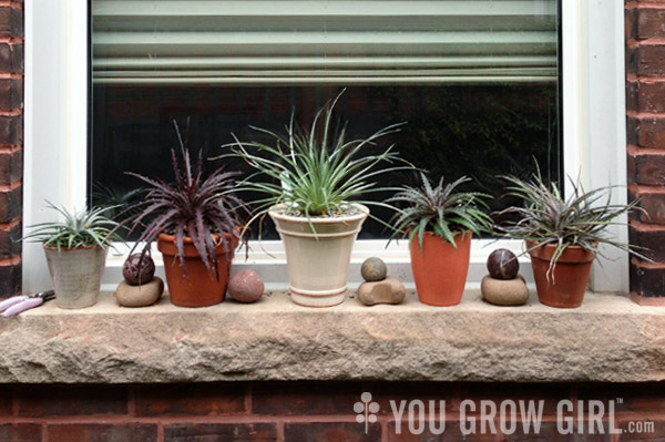 potted dyckia on a windowsill