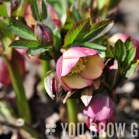 Hellebore, Huh? Lessons from the Hellebore Whisperer