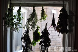 Herbs Hanging to Dry