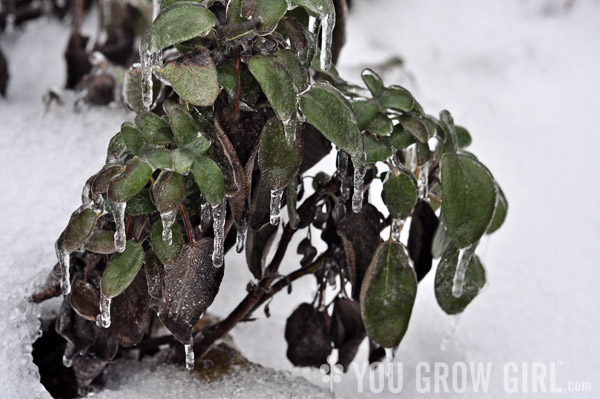 Common sage encased in ice