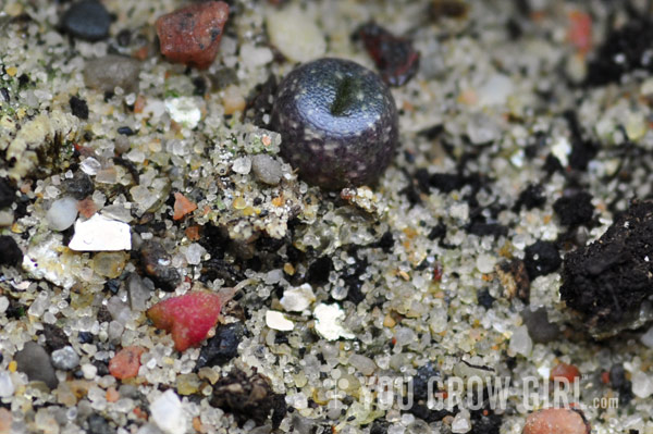 how to grow baby succulents