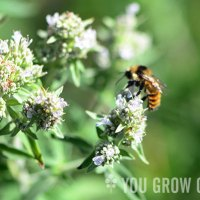 Food Worth Growing: Mountain Mint
