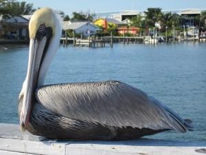 pelican-830793_1920