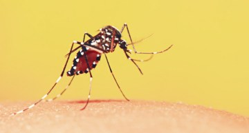 Re-engineering Mosquitoes To Fight Dengue