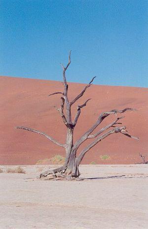 Dry Tree in Desert