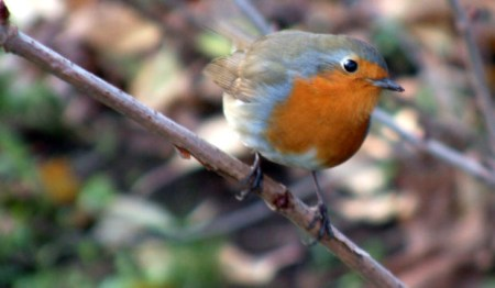 Little Robin Bird