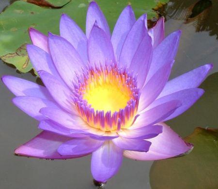blue-lotus-pond