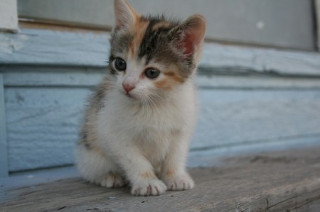 Kitten-white-brown
