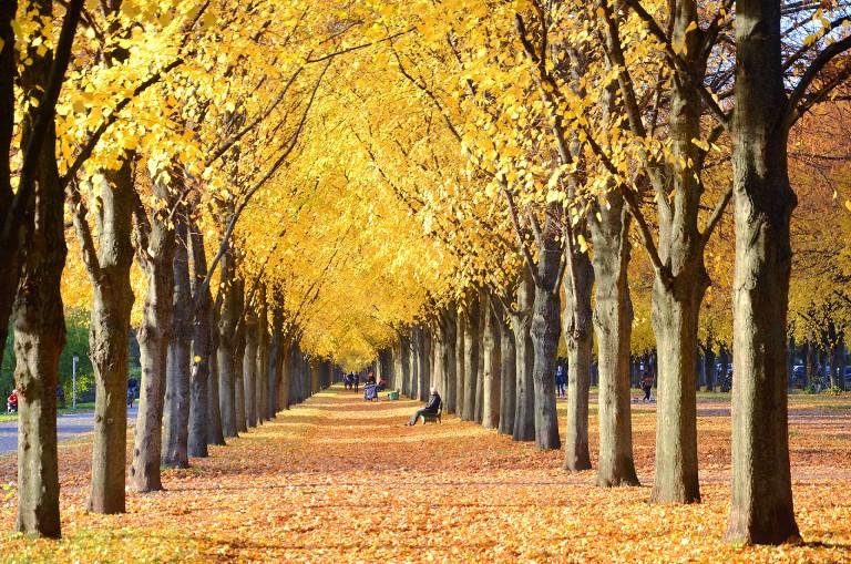 2015-10-26_Goldener_Oktober_in_der_Herrenhäuser_Allee_im_Georgengarten_in_Hannover