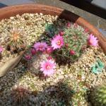 2006年5月29日。子サボテンに花が咲いた。