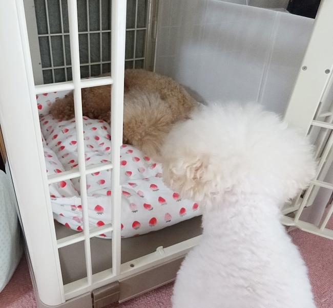 犬の発情期、オスとメスの行動