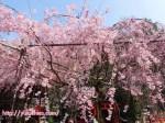 水火天満宮 京都の桜(堀川御霊前通上がる)