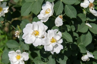 rose-hip-584539_640