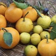 柑橘・橙・だいだい・ポン酢・食養生