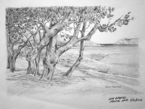 Medium Of Sea Grape Tree