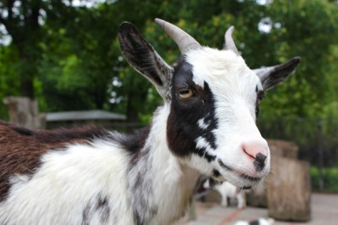 Goat at the Petting Zoo at the Tierpark Hagenbeck Zoo in Hamburg Germany via ZaagiTravel.com