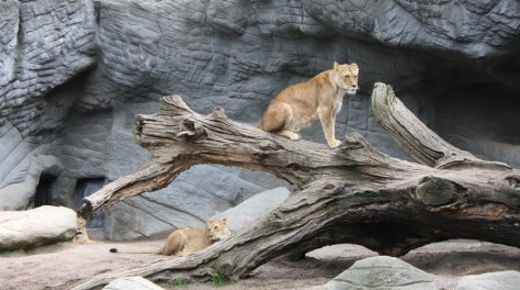 Lions at the Tierpark Hagenbeck Zoo in Hamburg Germany via ZaagiTravel.com