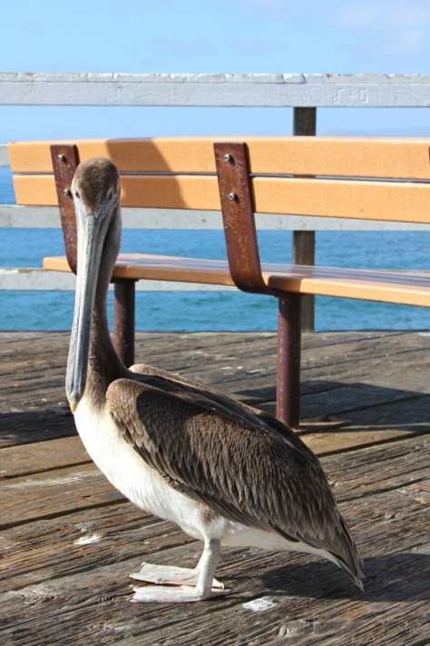 Pelican on the Pismo Beach Pier, California via ZaagiTravel.com