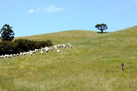 Sheep at Duder Regional Park in New Zealand via ZaagiTravel.com