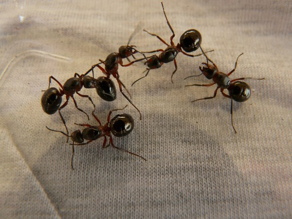 forest-ant-queens-3254_1280