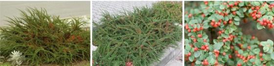 Cotoneaster horizontalis - Irga pozioma
