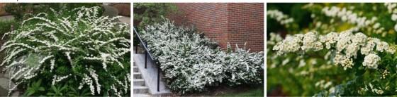Spiraea nipponica 'WHITE CARPET' - Tawuła nippońska