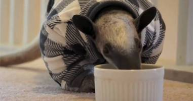 This Rescued Anteater Is Completely House Trained And Totally Adorable.