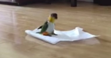This Bird Has An Unhealthy Obsession With Paper Towels. And It's So Cute.