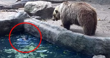 This Bear Does The Unthinkable And Pulls A Drowning Crow Out Of Water.
