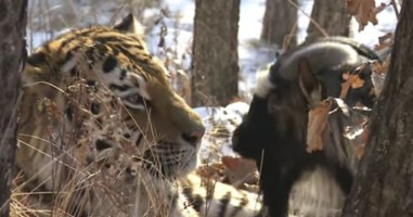 They Threw This Goat In A Tiger's Den To Be Food  But What Happened Is So Awesome
