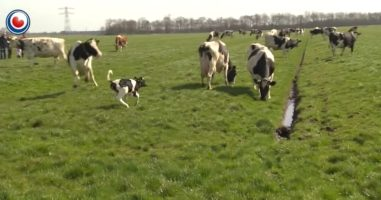 Adorable Cows Jump For Joy After Seeing Grass For The First Time In 6 Months