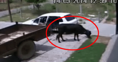 The Perfect Crime: Man Steals A Cow By Getting It Into His Hatchback Car.