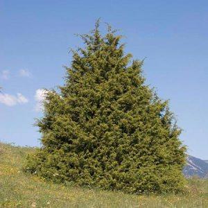 Juniperus%20oxycedrus[1]