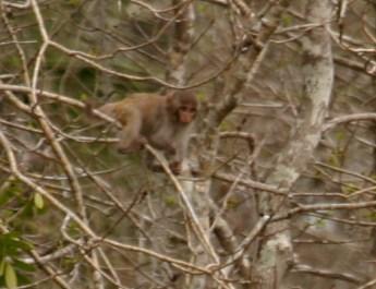 Rhesus_Monkey