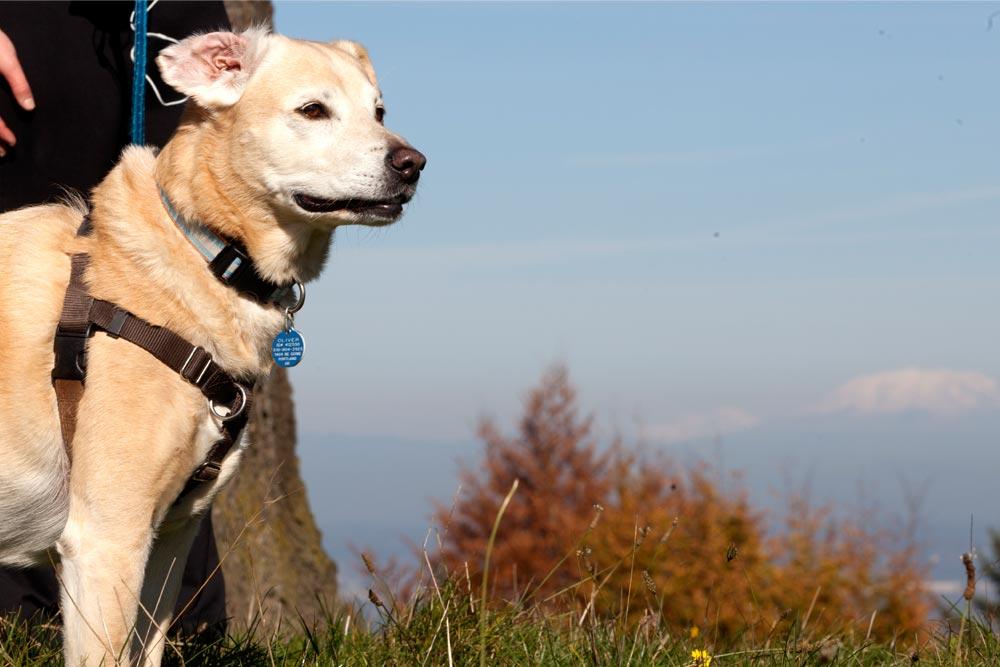 portland dog parks yellow lab