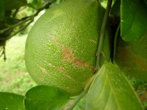 7.造成果皮擦傷傷害的枝條