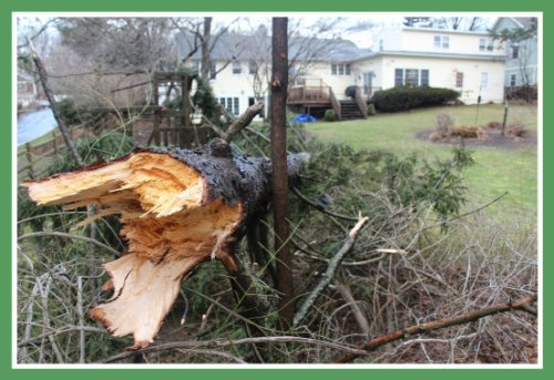 This tree snapped in Wednesday night's windstorm. Fortunately, says homeowner (and photographer) Mark Mathias, the only thing damaged was the tree itself.