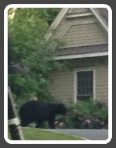 Bear on Tupelo Road, Westport CT