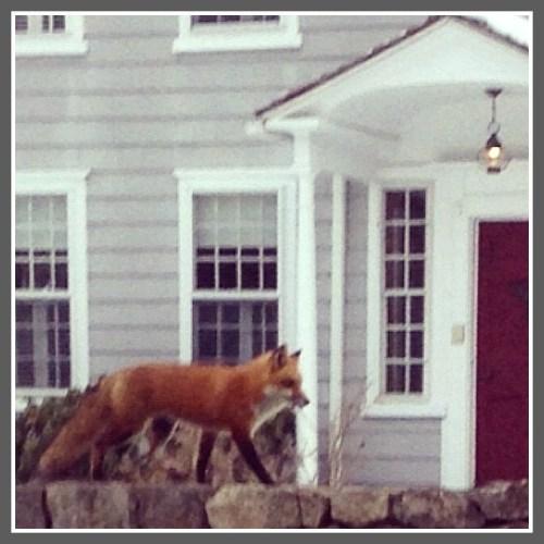 Literary fox