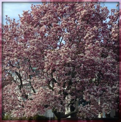 Magnolias - Topsy  Siderowf
