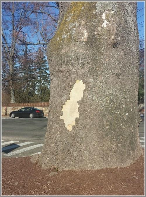 Sycamore - tree damage