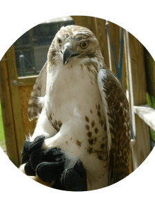 The red-tailed hawk.