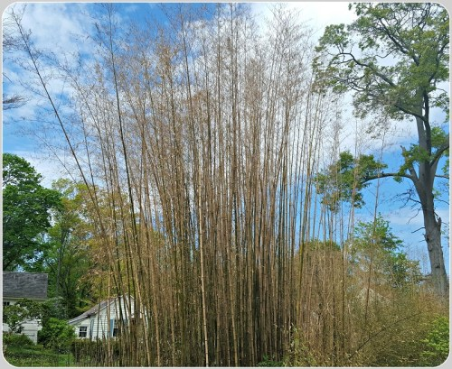 Dying bamboo in Southport. (Photo/Art Schoeller)