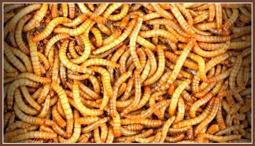Mmmmm -- mealworms!