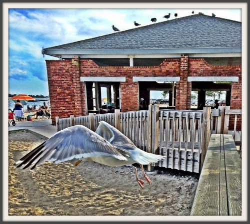 Seagull at Compo