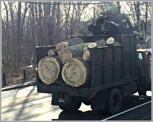 Cut trees are hauled away from Baron's South.