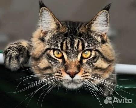 Мей кун купить в Новосибирской области | Животные и ...