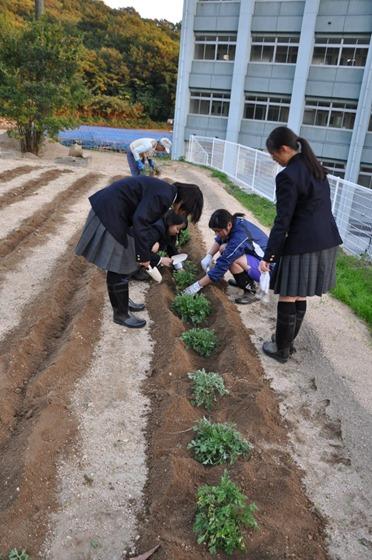 因島高校理科部 除虫菊を植える