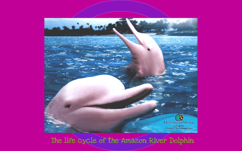 The Life Cycle Of The Amazon River Dolphin By Laura Libro